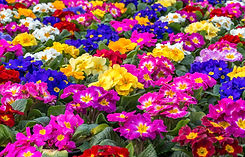 Alliance of Native Seedkeepers live plants Central focus on a group of brightly colored Primroses.jpg