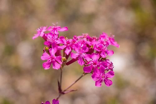 Catchfly - (Silene Armeria)