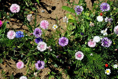 Cornflower, Centaurea Cyanus Polka Dot Mix