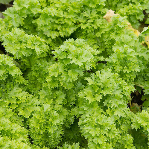 Southern Giant Curled Mustard