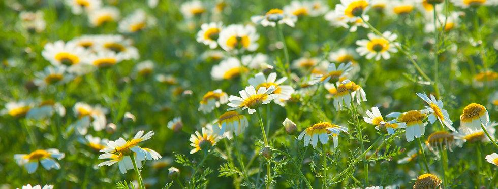 Garland Chrysanthemum - (Chrysanthemum Coronarium)