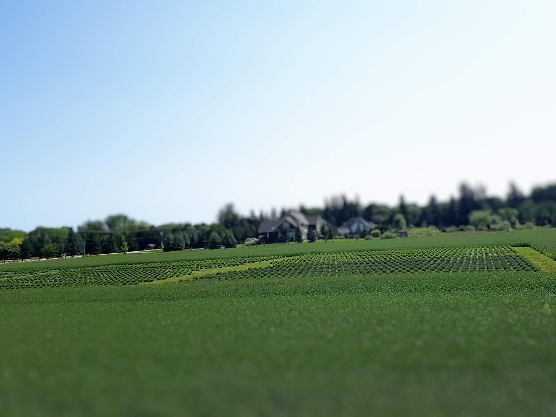 Lavender field in spring.jpg