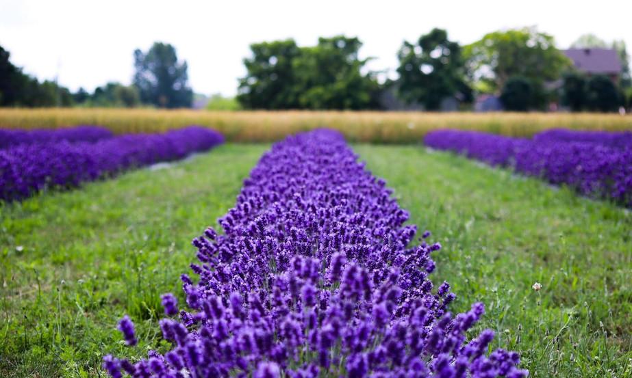 Vibrant Purple Lavender Rows.jpeg