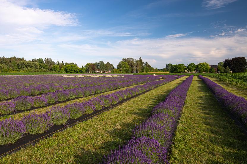 Rows of purple.jpg