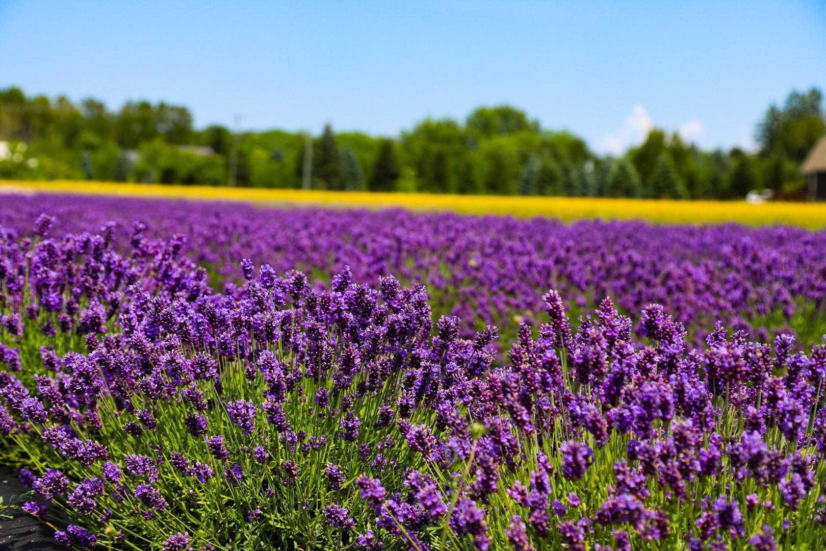 Lot of Purple Lavender.jpeg