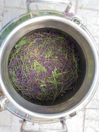 Lavender distillation.jpg