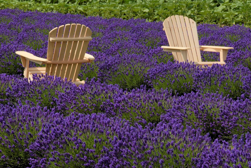 Chairs in the lavender.JPG