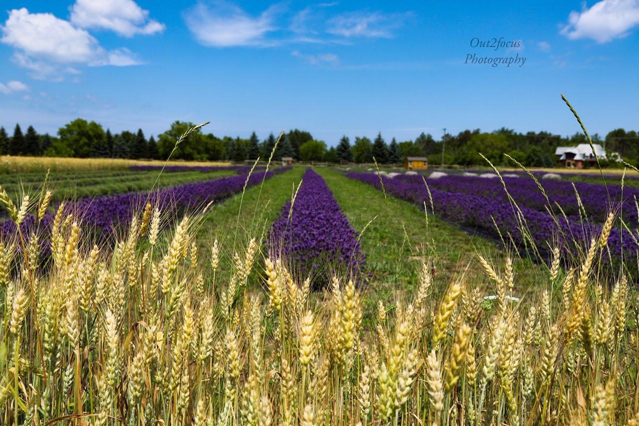 lavender field wheat.jpg