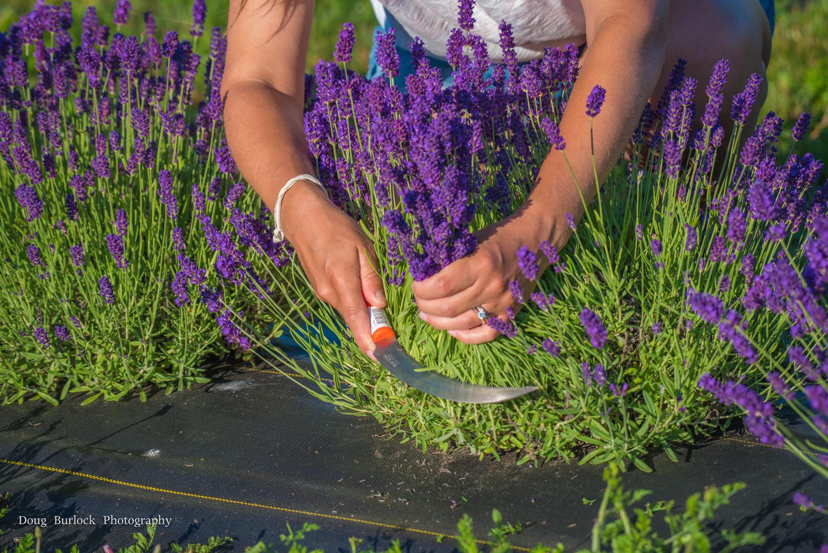 English lavender harvest.jpg