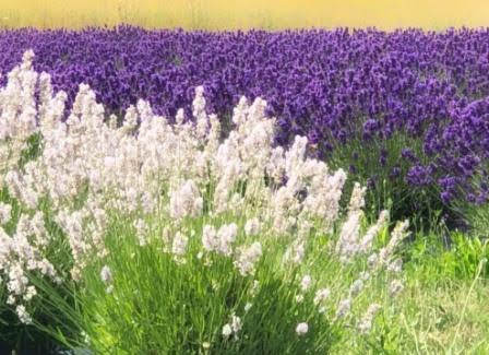 White and Purple Lavender.jpg