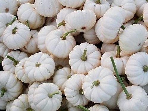 Jack B Little Pumpkins-White(ea)