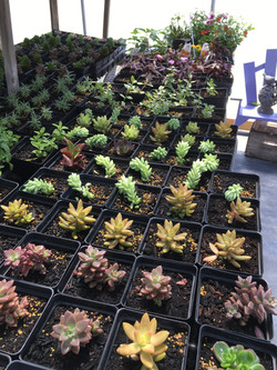 Succulents 5