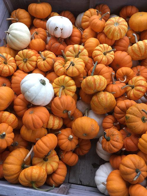 Jack B Little Pumpkins (ea)