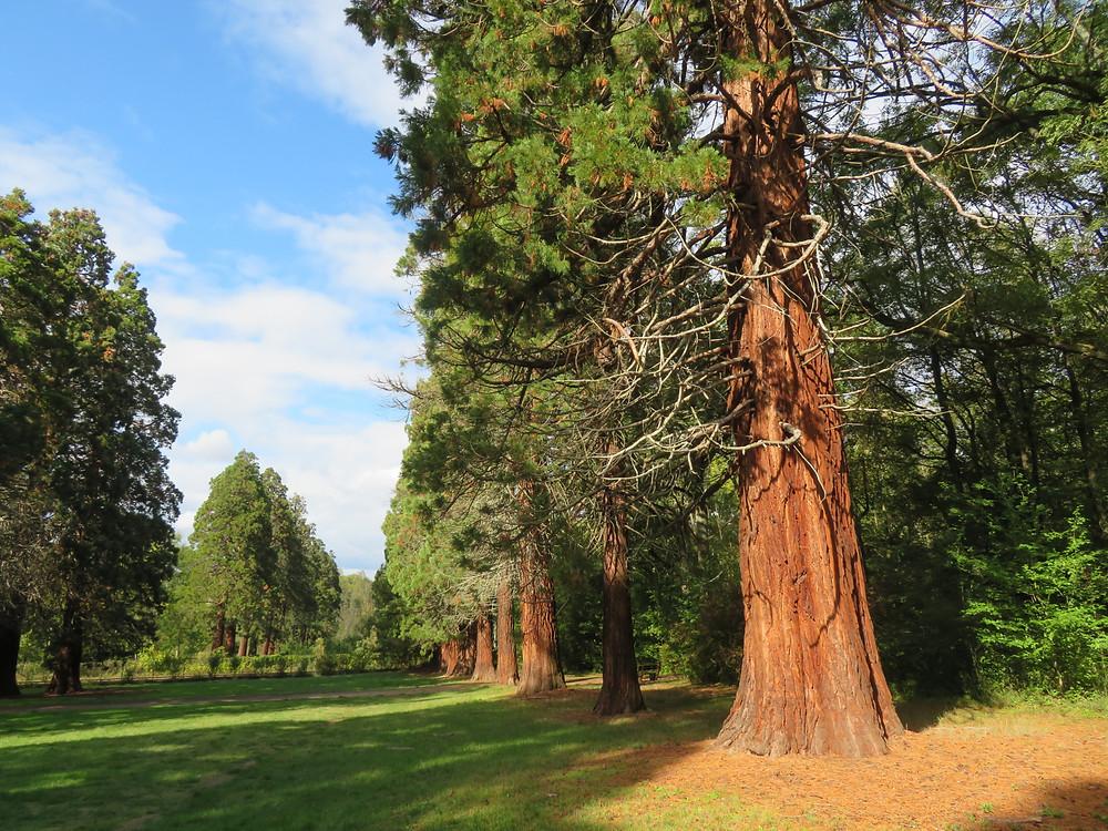 Longue rangée de séquoias parfaitement aligné