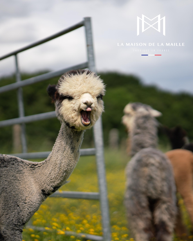 Alpaga joyeux