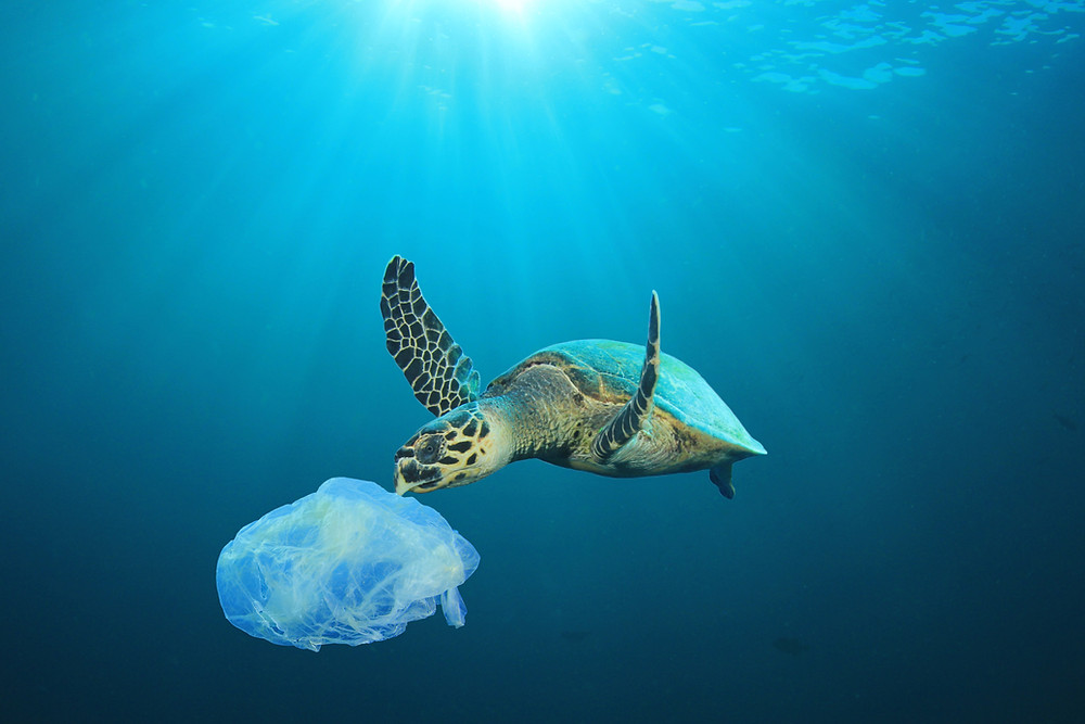 sea turtle eating a plastic bag