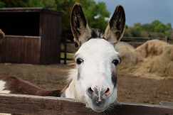 Oakey the donkey.JPG