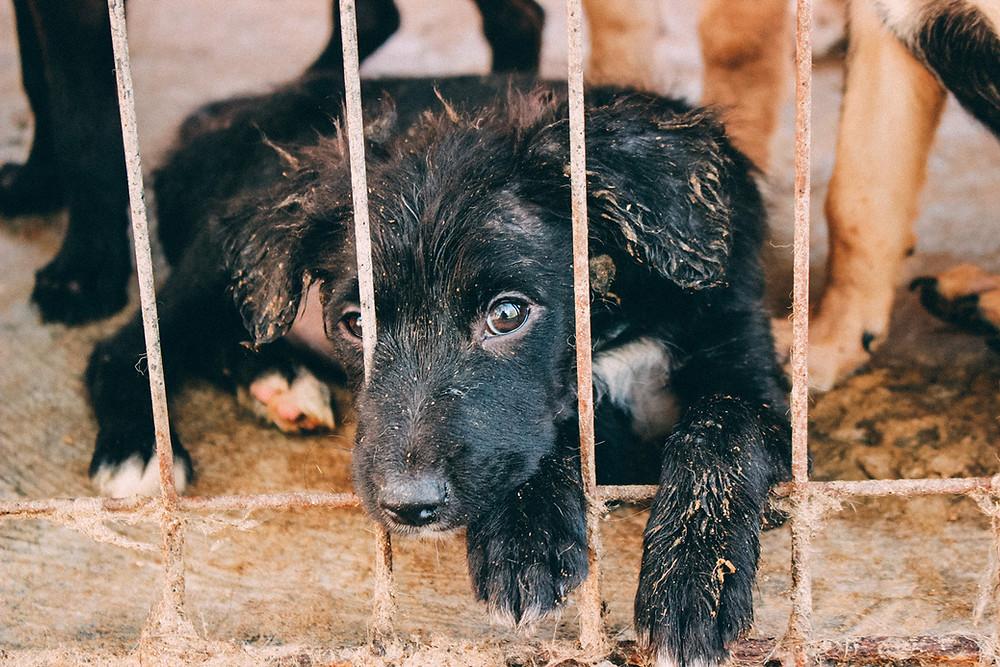 ProDog Romania schwarzer Hundewelpe