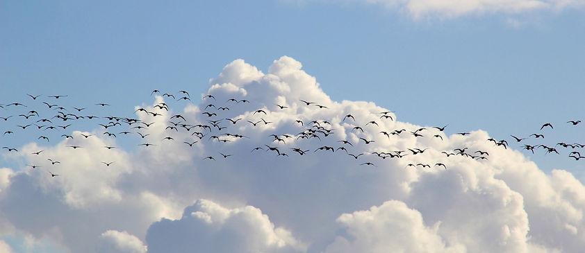 bird-migration-4023947_1920_edited.jpg