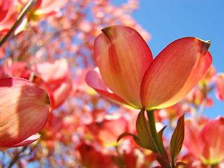 Dogwood-Pink-Orange-Flowers--Dogwood-Tre