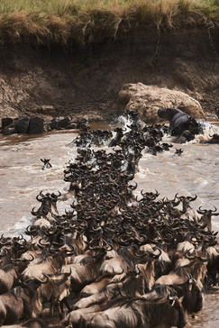 Emboo River Great Migration
