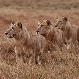 Emboo River lions