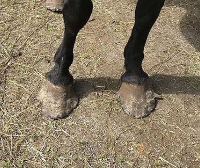 Libby's overgrown hooves by arrival