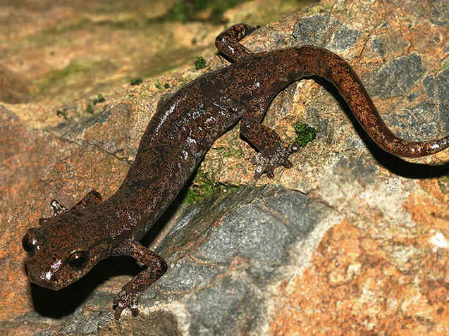 Samwell Cave Salamander