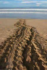 Nesting tracks of Leatherback Sea Turtle