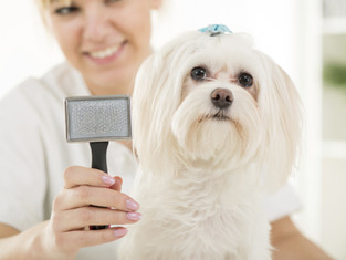 Dog Grooming small breeds dog in orange