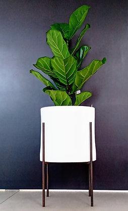 Ficus lyrata Pandura