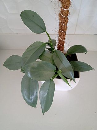 Philodendron Silver