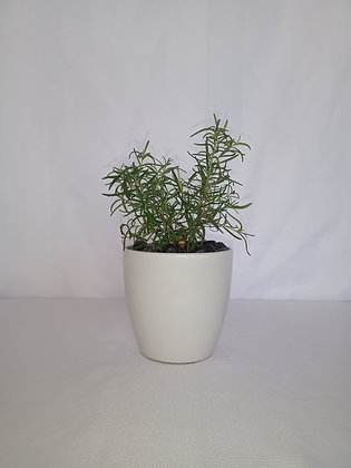 Planta de romero pequeña