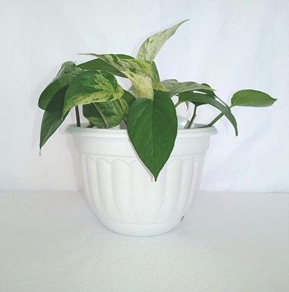 Pothos variegado (Millonaria)