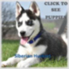 Siberian Huskies.jpg