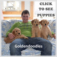 Goldendoodles.jpg