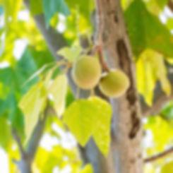 ハワイ産 ククイナッツ・オイル