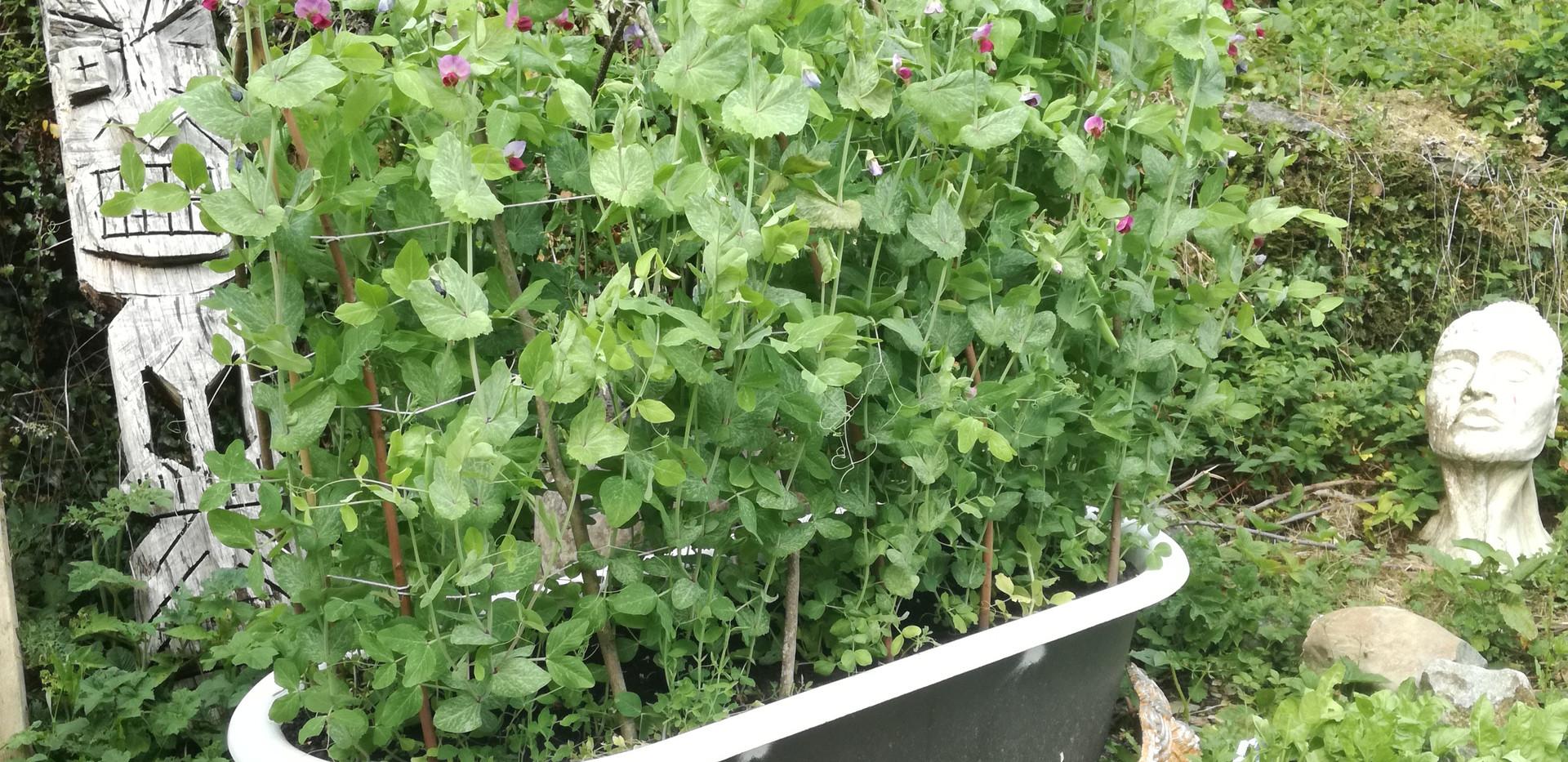 Yard veg garden