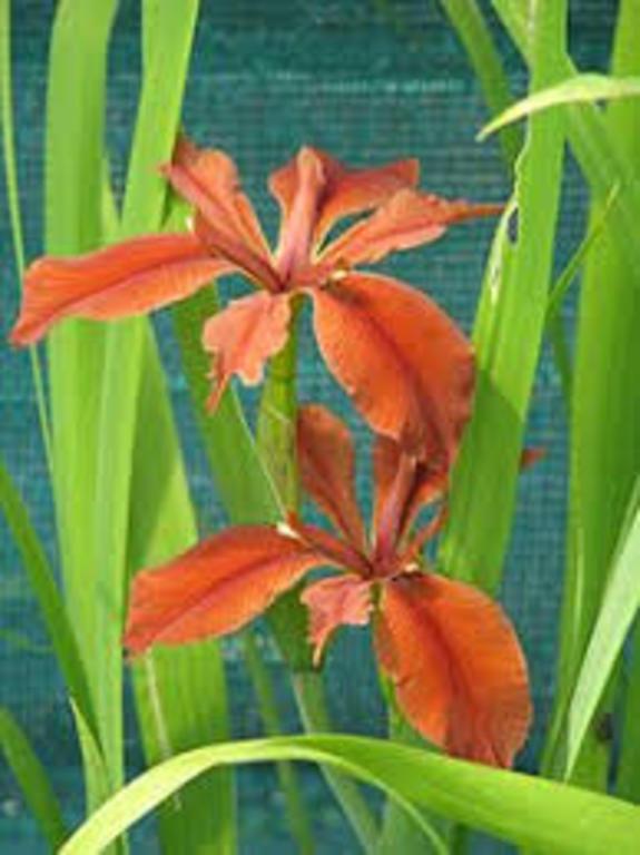 copper_iris