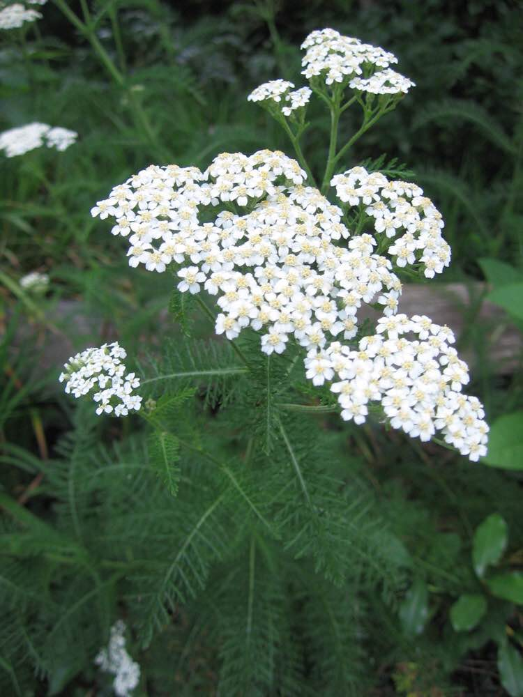 Native yarrow