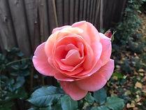 30 edmund rose.jpg