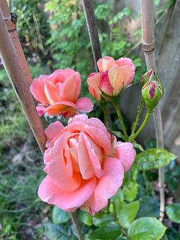 10 edmund rose.jpg