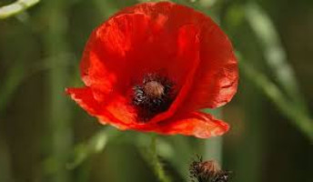 Poppy day poppy_edited.jpg