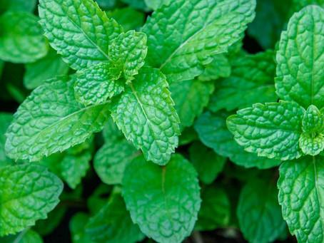 Peppermint Oil (Mentha × piperita) in the U.S.