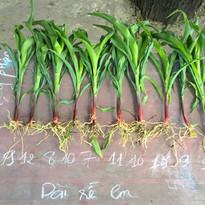Corn at 21 days - Control.jpg