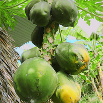 Papaya - Control.jpg
