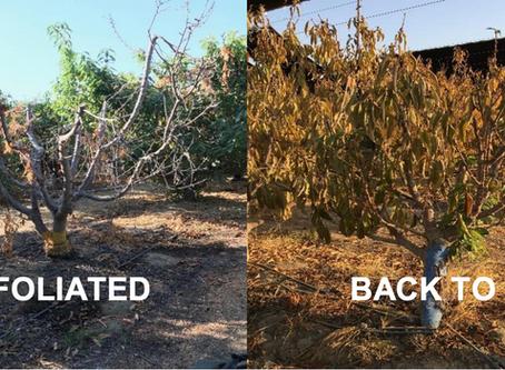 Case Studies - Tayyeba Farms – Bakersfield, CA