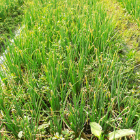 Spring onions at 40 days - Control.JPG