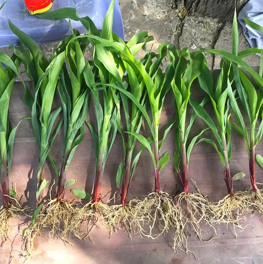 Corn at 21 days - Treated.jpg