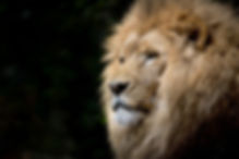 animal-africa-zoo-lion-33045.jpg